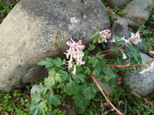 看巨石下盛开的花儿有感作《生命之歌》